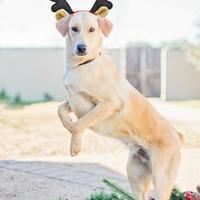 Australian Cattle Dog Mix Dog for adoption in Fredericksburg, Texas - Angel