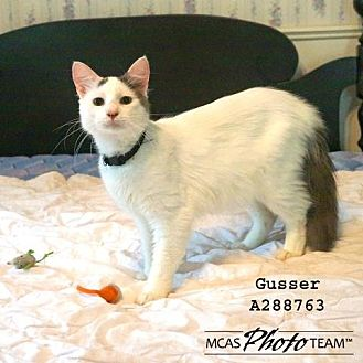 Domestic Mediumhair Cat for adoption in Conroe, Texas - GUSSER