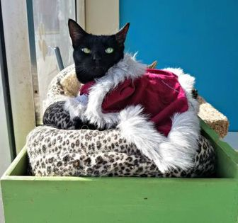 Domestic Shorthair/Domestic Shorthair Mix Cat for adoption in West Des Moines, Iowa - Polly Pocket