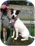 Rat Terrier/Jack Russell Terrier Mix Dog for adoption in Portsmouth, Rhode Island - Chance