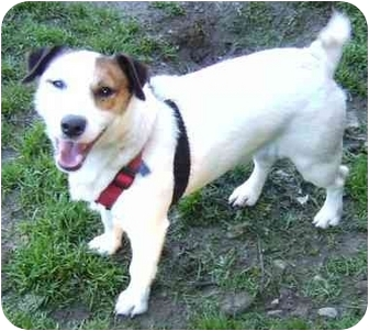 Jack Russell Terrier Dog for adoption in Coudersport, Pennsylvania - RUSSELL