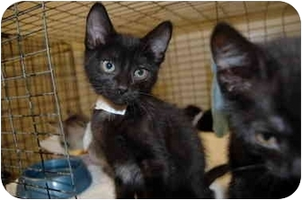 Domestic Shorthair Kitten for adoption in Atlanta, Georgia - Abe