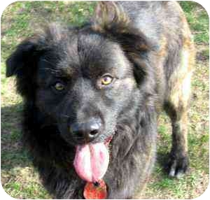 Australian Shepherd/Shepherd (Unknown Type) Mix Dog for adoption in Seattle, Washington - Chewy