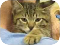 Domestic Shorthair Kitten for adoption in Tampa, Florida - Tiger Lily