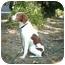 Photo 4 - Brittany Dog for adoption in Altoona, Pennsylvania - Jerrel-PENDING