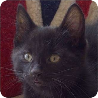 Domestic Shorthair Kitten for adoption in Toronto, Ontario - Chomper