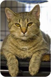 Domestic Shorthair Cat for adoption in Bulverde, Texas - Bailey