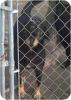 Husky/Labrador Retriever Mix Dog for adoption in Ripley, Tennessee - McGraw (CNWH)