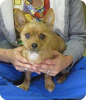 Yorkie, Yorkshire Terrier/Terrier (Unknown Type, Small) Mix Dog for adoption in Harrisonburg, Virginia - Gingerbread Man