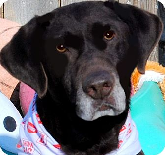 Labrador Retriever Dog for adoption in Hendersonville, Tennessee - OAKLEY(WHAT A STORY-PLS READ!!