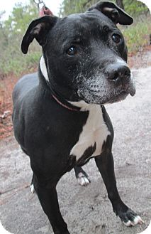American Staffordshire Terrier Mix Dog for adoption in Forked River, New Jersey - Oreo