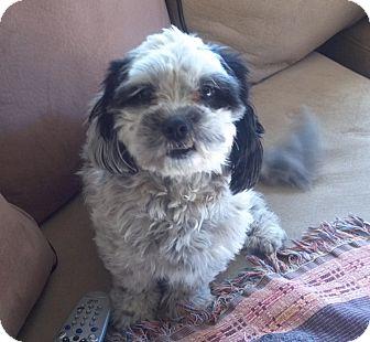 Shih Tzu Mix Dog for adoption in Gilbert, Arizona - Noel