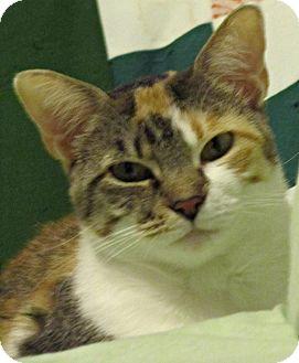 Calico Cat for adoption in Seminole, Florida - Samantha