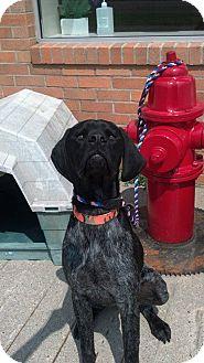 German Shorthaired Pointer Dog for adoption in Brookings, South Dakota - Gus