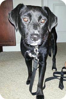 Labrador Retriever Mix Dog for adoption in Westport, Connecticut - Luna