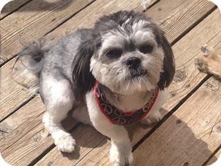 Shih Tzu/Poodle (Miniature) Mix Dog for adoption in Plainfield, Illinois - Budler
