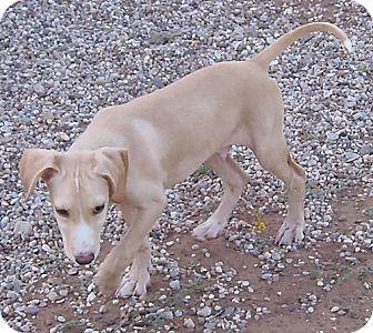 Labrador Retriever Mix Dog for adoption in Post, Texas - Butterscotch
