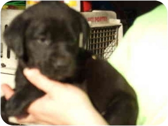 Labrador Retriever/Border Collie Mix Puppy for adoption in Richmond, Virginia - Hershey