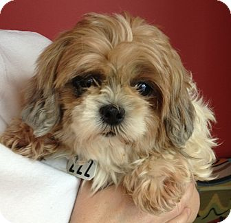 Shih Tzu Dog for adoption in Fairview Heights, Illinois - Wendy