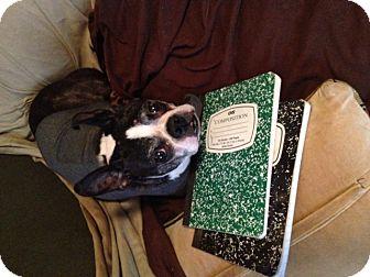 Boston Terrier Dog for adoption in CHICAGO, Illinois - DIXIE