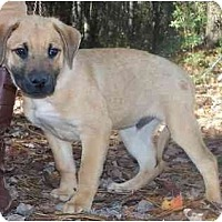 Adopt A Pet :: Boy pup - Little River, SC