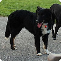 Adopt A Pet :: Ace - Westbank, BC