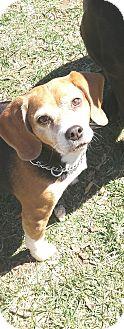 Beagle Dog for adoption in Raritan, New Jersey - Bailey