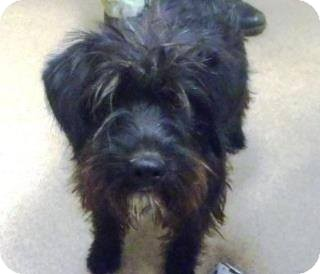 Terrier (Unknown Type, Small) Mix Dog for adoption in Las Vegas, Nevada - Cooper