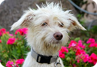 Terrier (Unknown Type, Small) Mix Puppy for adoption in Los Angeles, California - Tumbleweed