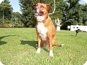 Labrador Retriever/Hound (Unknown Type) Mix Dog for adoption in Worcester, Massachusetts - SweeTCarolinE