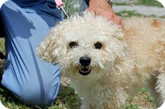Poodle (Miniature)/Pomeranian Mix Dog for adoption in Bradenton, Florida - Bella