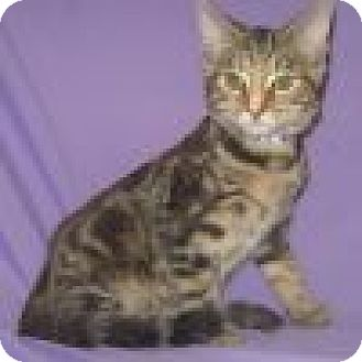 Domestic Shorthair Cat for adoption in Powell, Ohio - Georgine