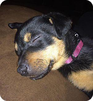 Rottweiler/Labrador Retriever Mix Puppy for adoption in Fairview Heights, Illinois - Joy