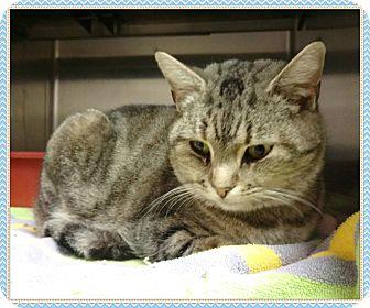 Domestic Shorthair Cat for adoption in Marietta, Georgia - BELLE - see video $60 adopt!