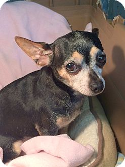 Chihuahua Dog for adoption in Clayville, Rhode Island - Miss Tillie