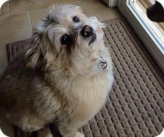 Pomeranian/Poodle (Miniature) Mix Dog for adoption in Rochester, Michigan - Rocky
