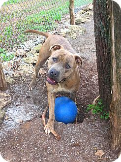 American Bulldog/Boxer Mix Dog for adoption in nashville, Tennessee - Tater