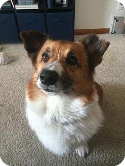 Corgi Mix Dog for adoption in Grand Rapids, Michigan - Henry
