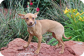 Chihuahua Puppy for adoption in Yukon, Oklahoma - Venus