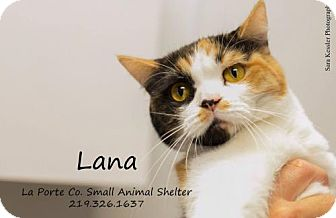 Calico Cat for adoption in La Porte, Indiana - Lana