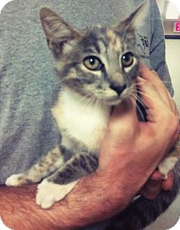 Domestic Shorthair Cat for adoption in Everman, Texas - Blondie