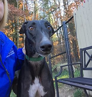 Greyhound Dog for adoption in Swanzey, New Hampshire - Torque