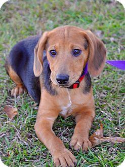Beagle Mix Puppy for adoption in Grand Bay, Alabama - Bobby