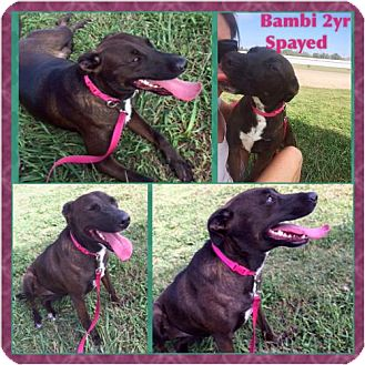 Labrador Retriever Mix Dog for adoption in Garber, Oklahoma - Bambi