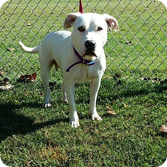 American Bulldog/Boxer Mix Dog for adoption in Cannelton, Indiana - Elsa