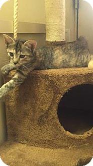 Domestic Shorthair Kitten for adoption in Fountain Hills, Arizona - TOASTIE