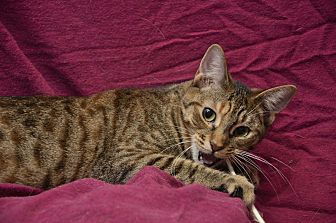 Domestic Shorthair Cat for adoption in Chattanooga, Tennessee - Fiona