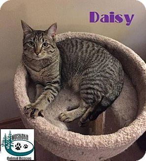 Domestic Shorthair Kitten for adoption in Huntsville, Ontario - Daisy - Adopted January 2017