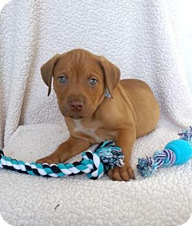 Boxer/Labrador Retriever Mix Puppy for adoption in Elkton, Maryland - Marv