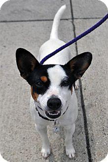 Rat Terrier/Jack Russell Terrier Mix Puppy for adoption in Fairfax Station, Virginia - Katie